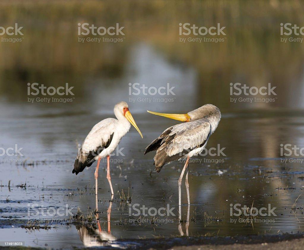 Yellow billed storks displaying stock photo
