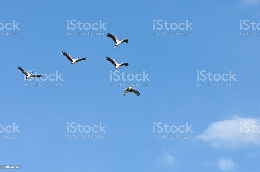 yellow billed storks in the sky stock photo