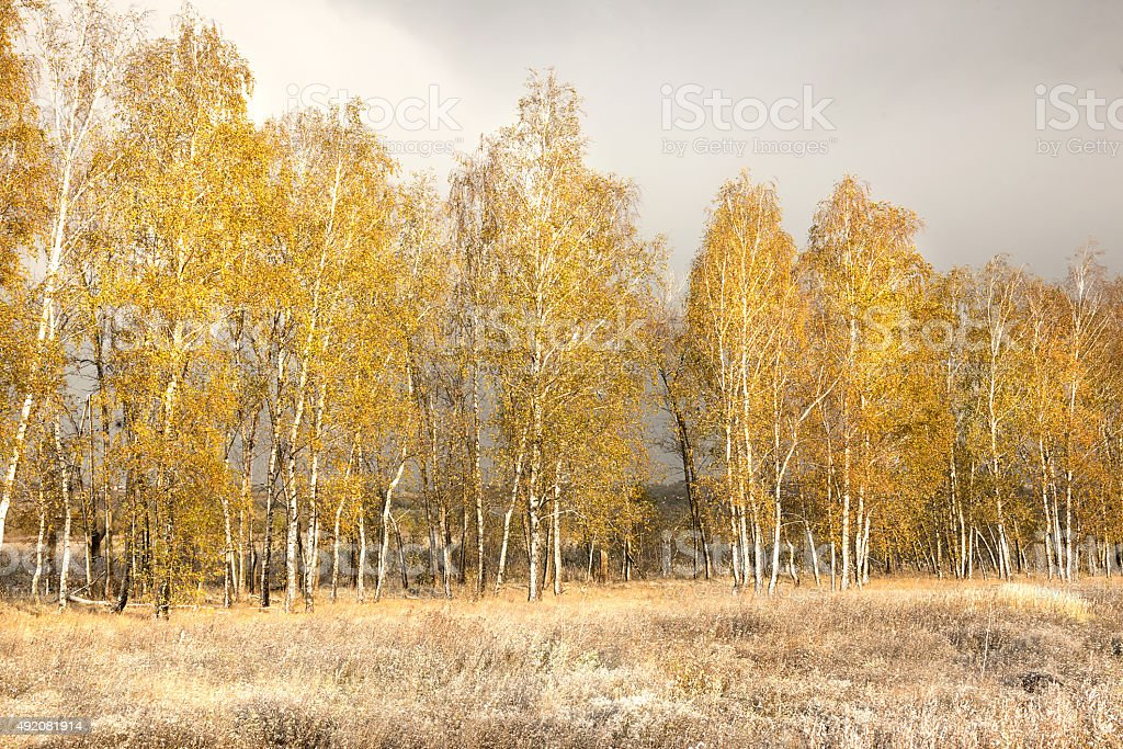 yellow birch and the first fallen snow stock photo