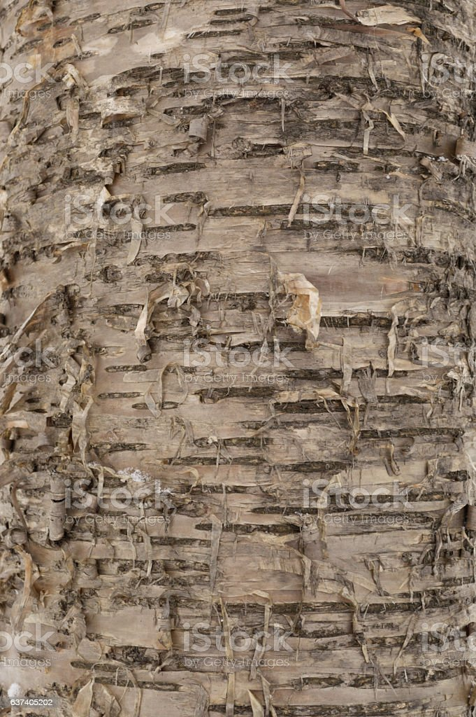 Yellow birch bark abstract closeup stock photo