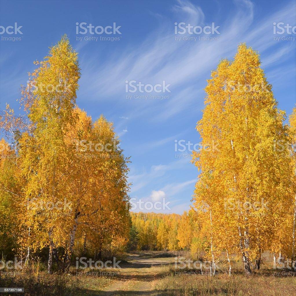 Jaune bouleaux, ciel bleu, la campagne en Russie. photo libre de droits