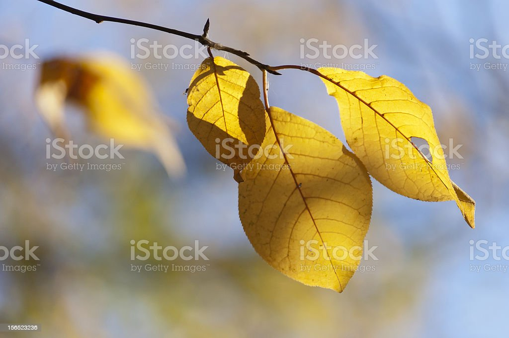 yellow bird cherry leaves close up royalty-free stock photo
