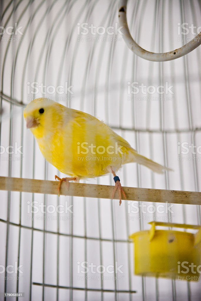 A yellow bird in a call along a white wall stock photo