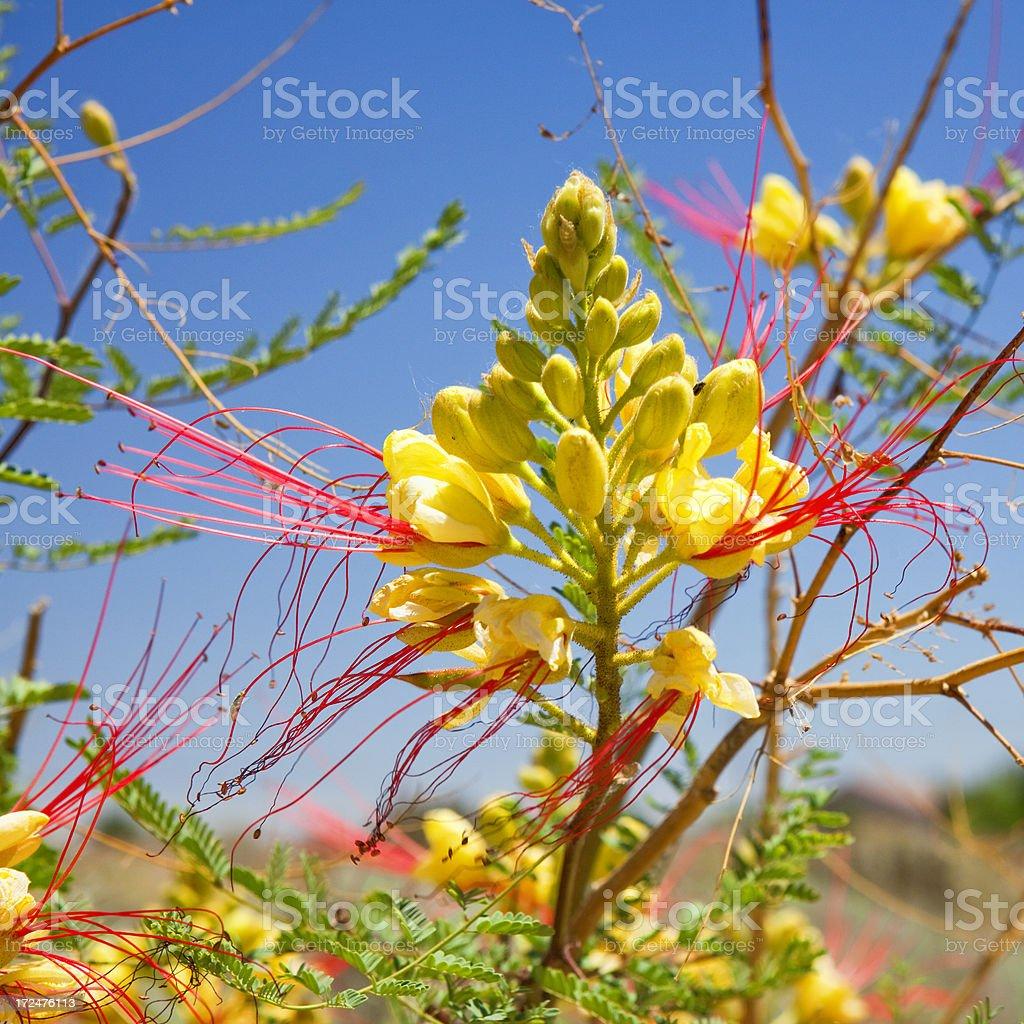 Yellow Bird of Paradise Flower - Petroglyph National Monument stock photo