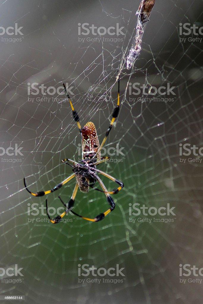 Yellow Black and Orange Spider Hangs Around Eating stock photo