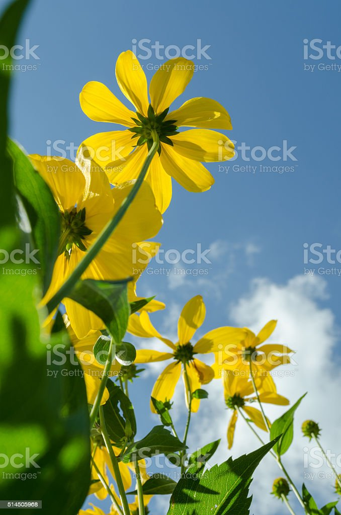 yellow black eyed Susan flowers from the bottom up stock photo