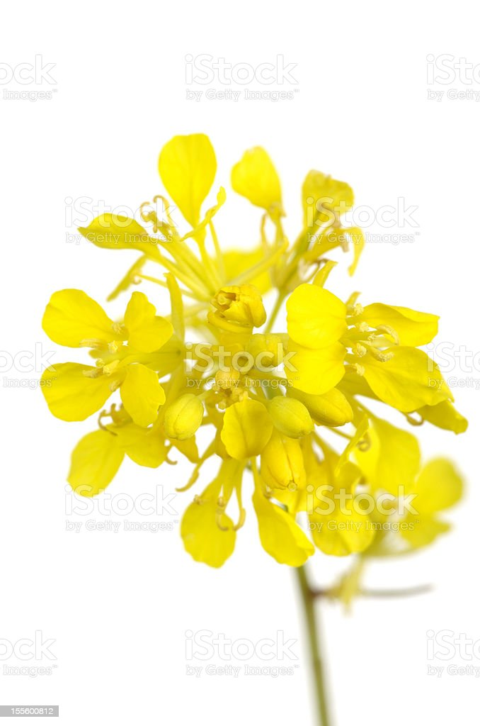Yellow Black Mustard Flowers Brassica nigra stock photo