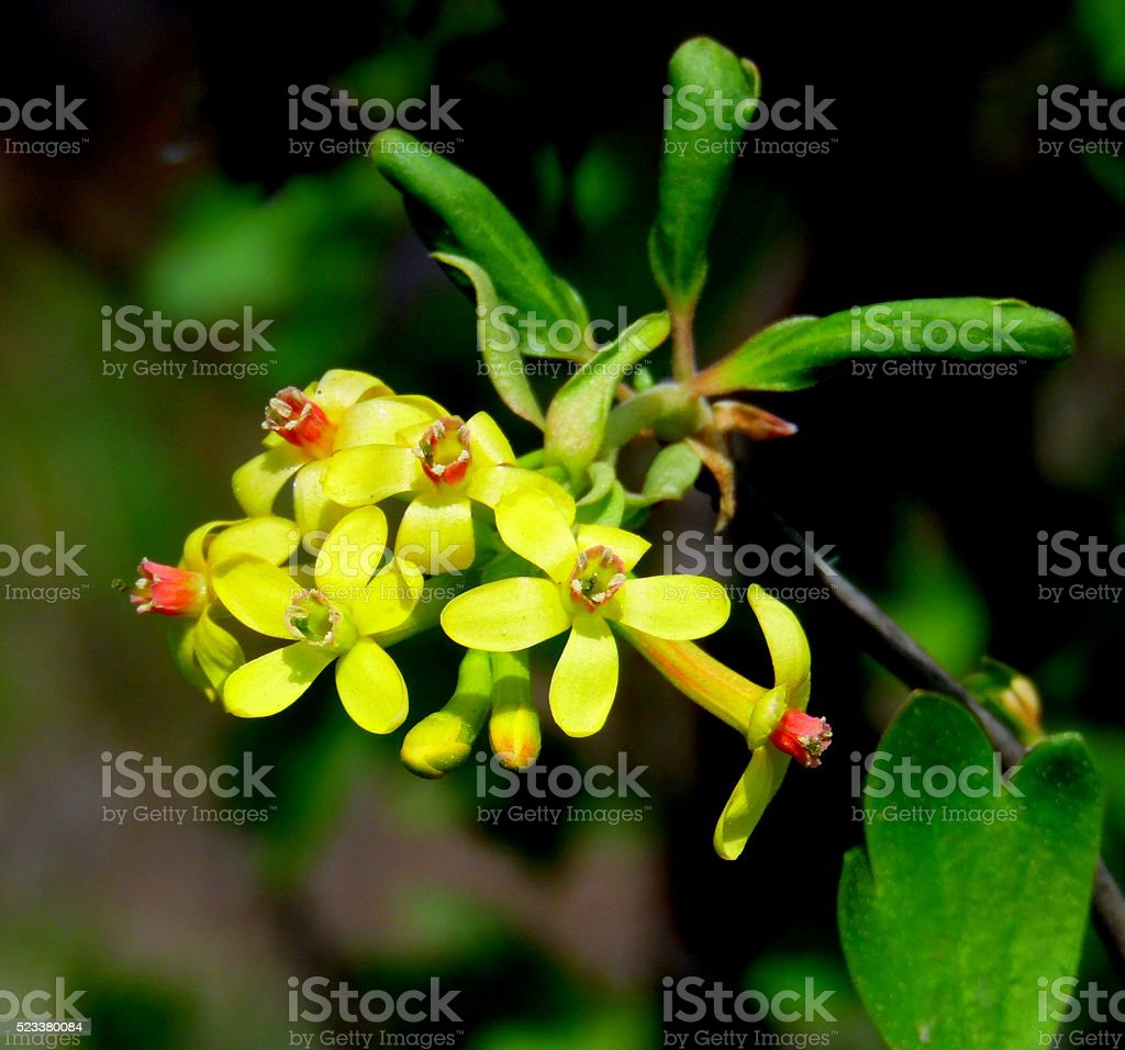 Yellow blackcurrant flowers in bloom stock photo