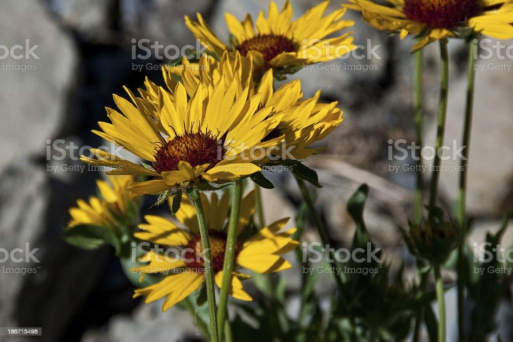 Yellow Blanketflower stock photo