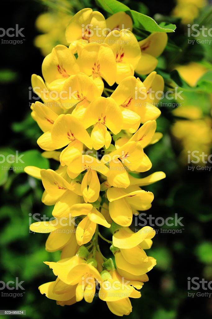 Yellow Bloom stock photo