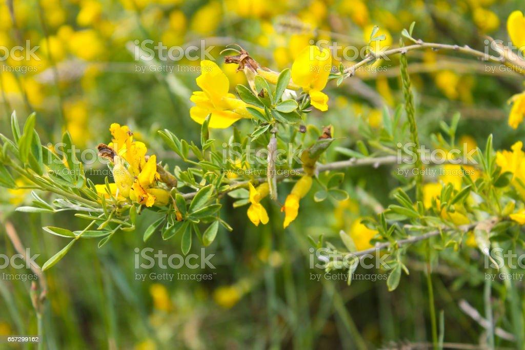 Yellow blooming acacia stock photo