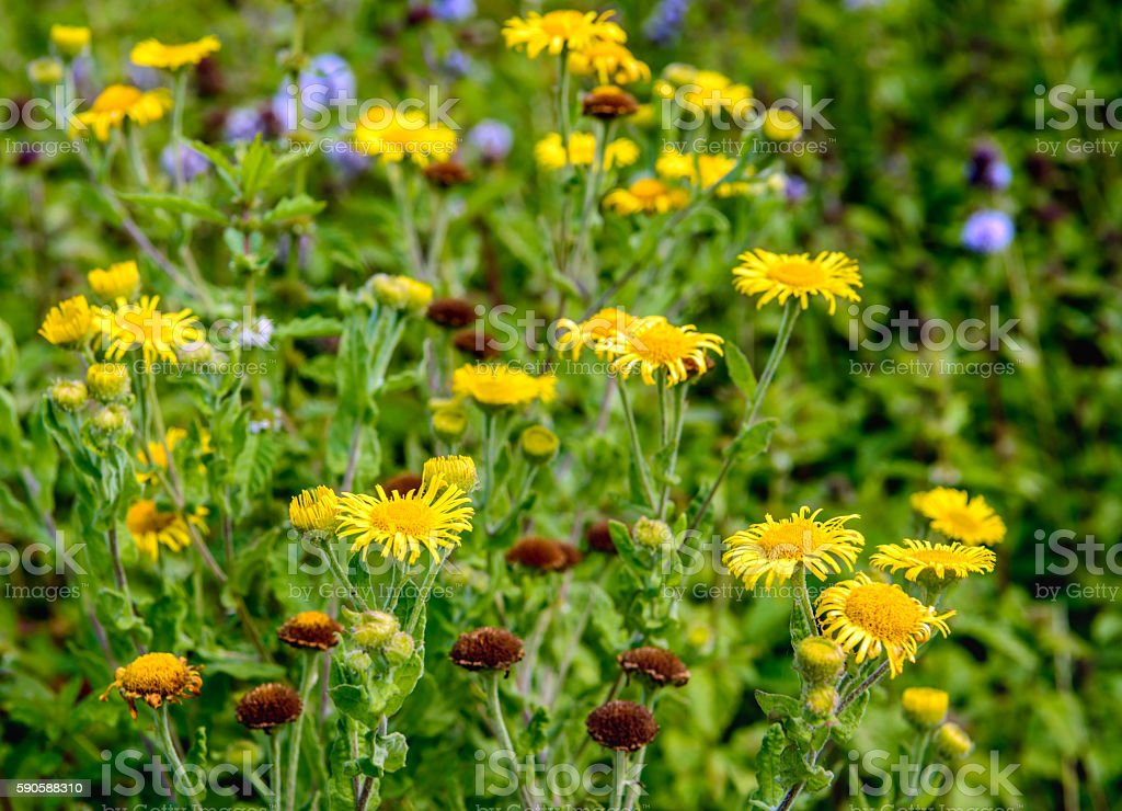 Yellow blooming and brown overblown Common Fleabane plants from stock photo