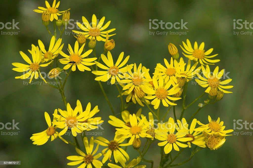 Yellow blooming Golden Ragwort (Packera aurea) stock photo