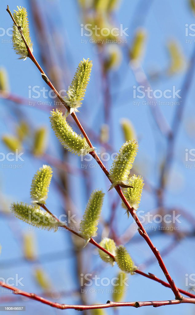 Yellow blooming pussy willow branches royalty-free stock photo