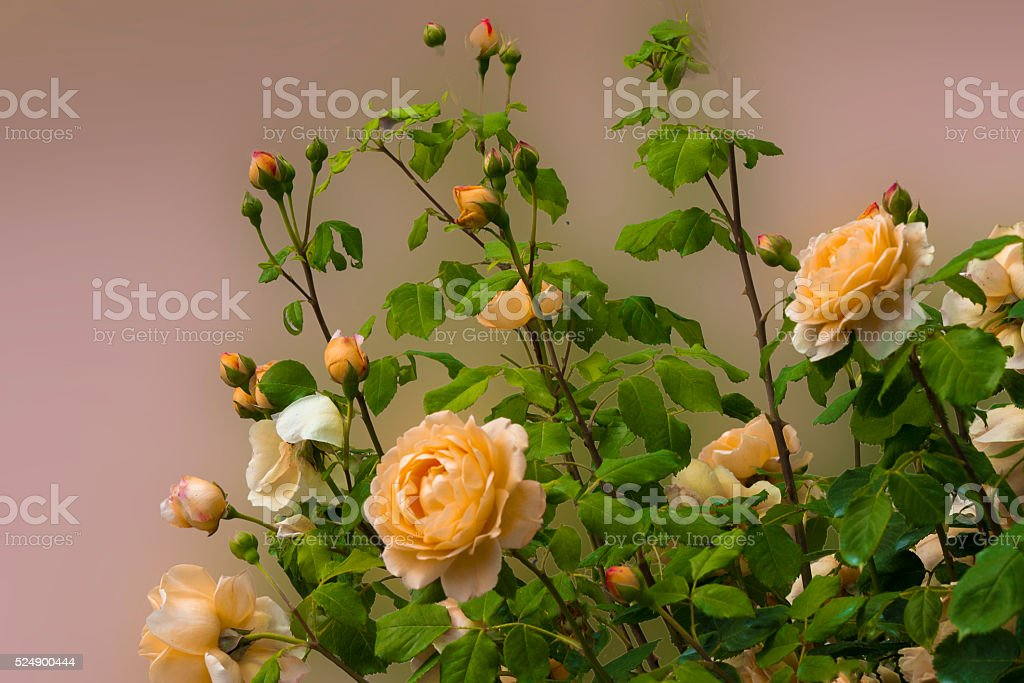 yellow  blooming rose  bush flowers stock photo
