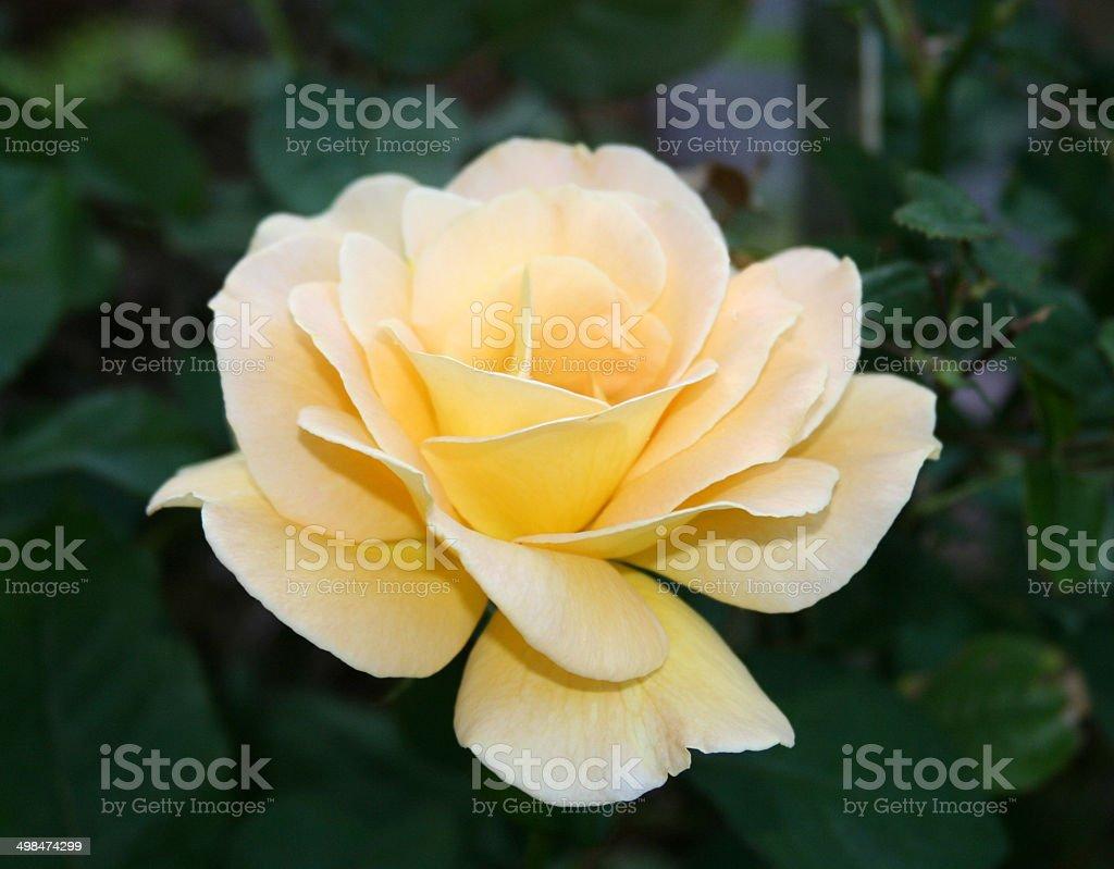 Yellow Blooming Rose royalty-free stock photo
