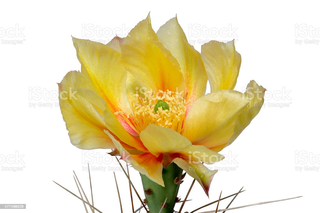 Yellow blossom from cactus (Opuntia phaecantha), isolated stock photo