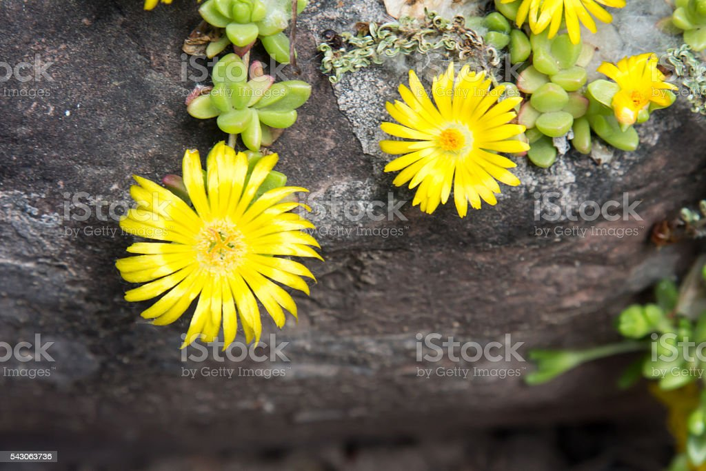 Yellow blossom of an Ice Plant stock photo