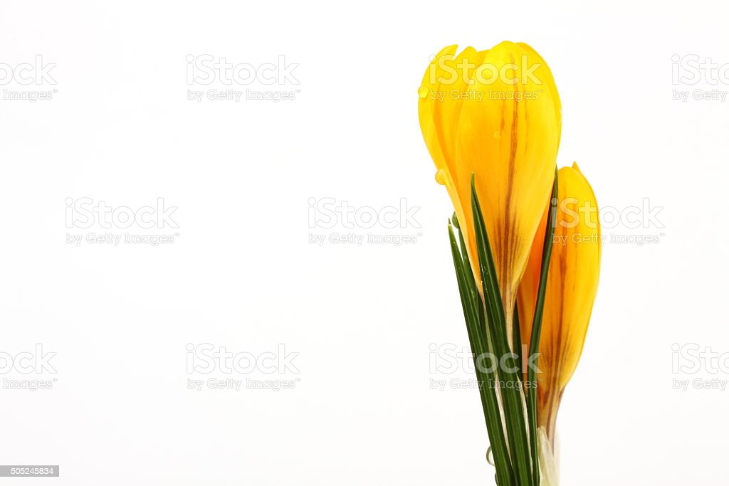 Yellow blossom of crocuses on white background stock photo