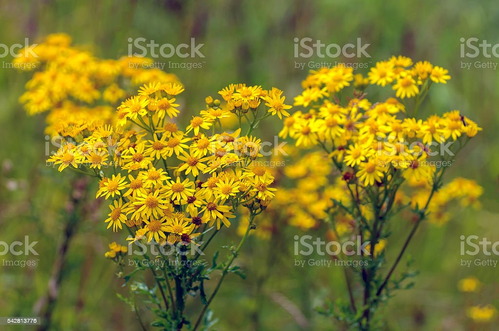 Yellow blossoming common ragwort from close stock photo