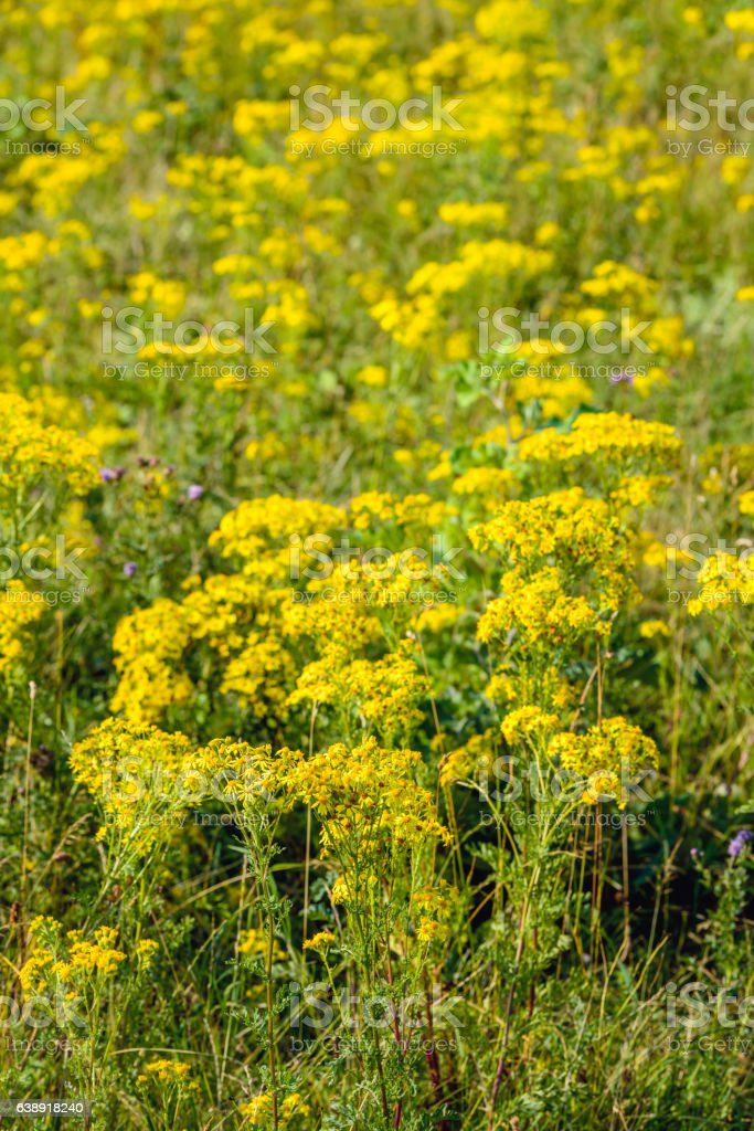 Yellow blossoming  common ragwort plants from close stock photo
