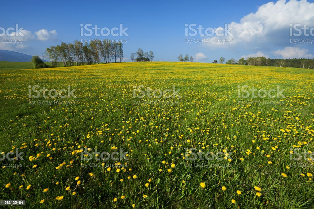 Yellow blossoming dandelions on a meadow rising to the horizon stock photo
