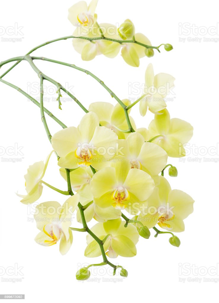 Yellow  Blossoming Orchid stock photo