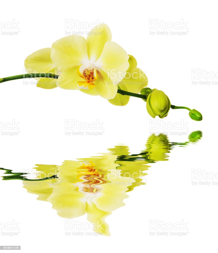 Yellow  Blossoming Orchid reflected in a water surface stock photo