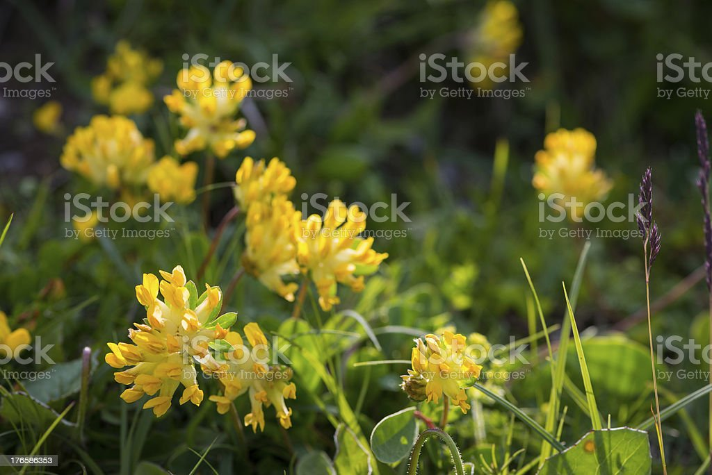 yellow blossoms of alpine flowers stock photo