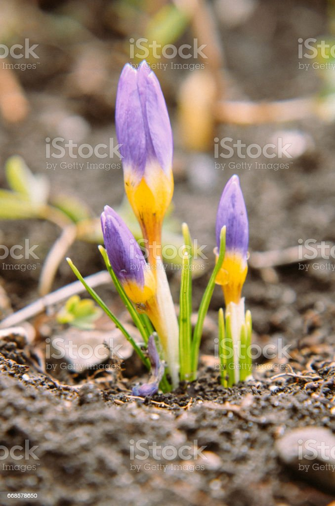 yellow, blue and purple crocuses growing in the garden. stock photo