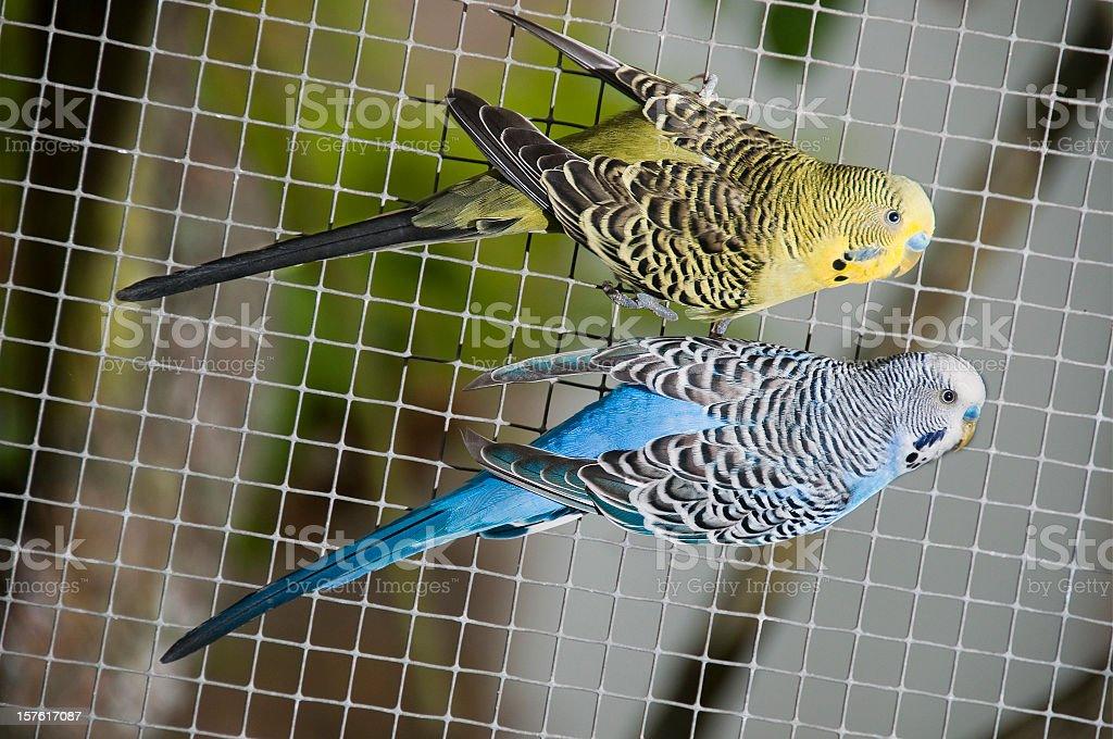 Yellow blue canary birds aviary bird cage hanging on fence stock photo