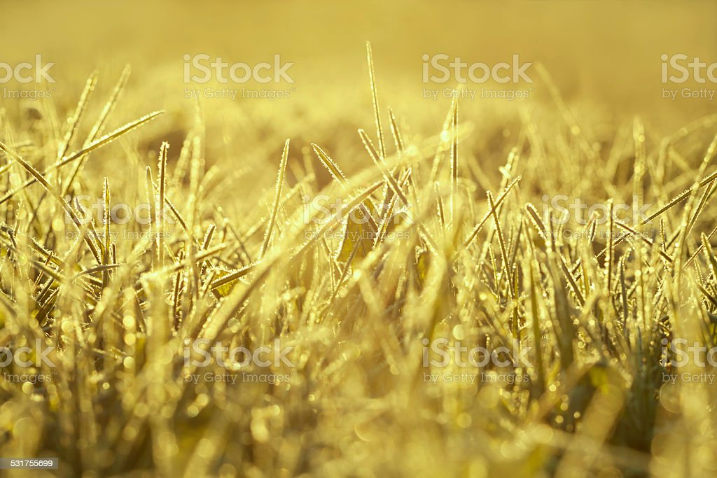 yellow  blur background from a grass in snow stock photo