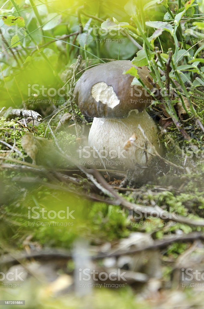 Yellow boletus hidden in sunlight stock photo