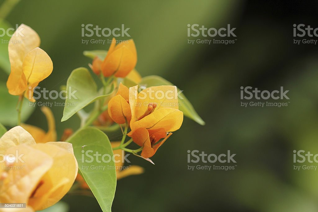 Yellow bougainvillea flower. stock photo