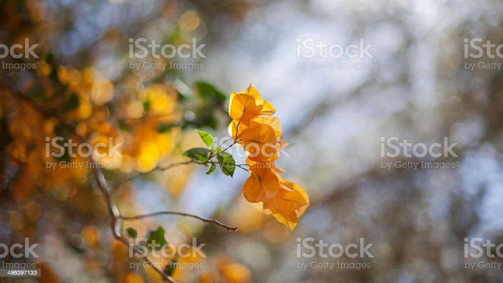 Yellow Bouganvillea royalty-free stock photo