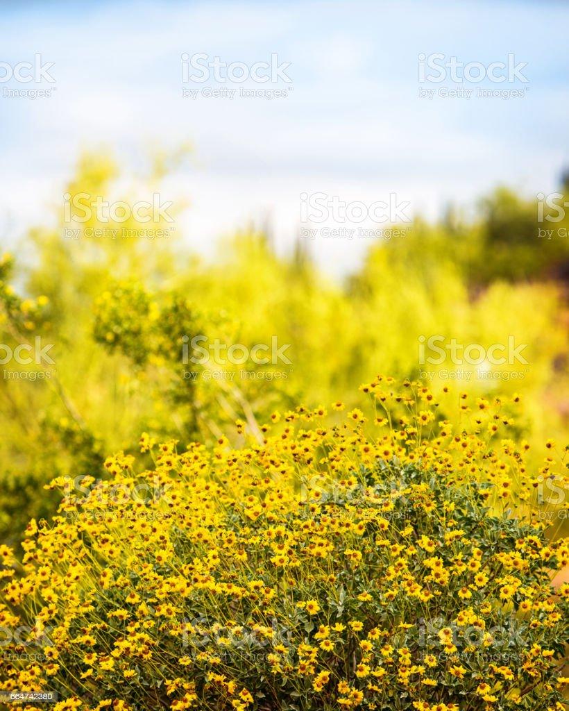 Yellow Brittlebush Wildflowers in Bloom stock photo