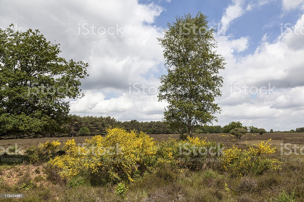 Yellow broom grass on the moor stock photo