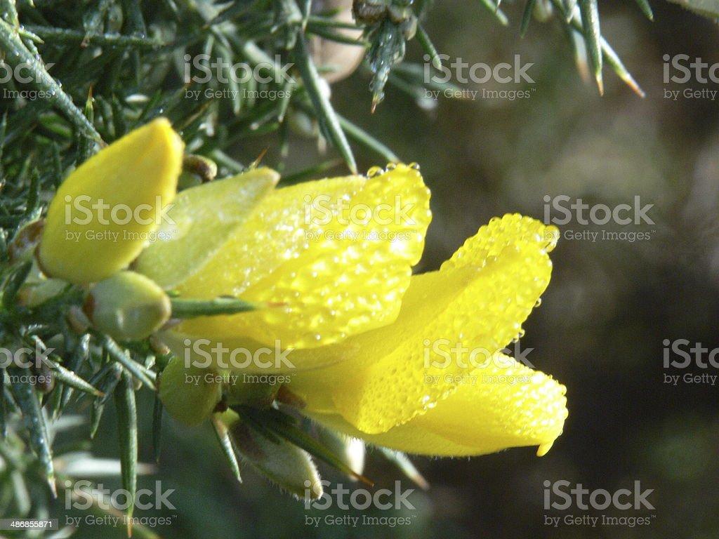 Gelbe Broom Lizenzfreies stock-foto