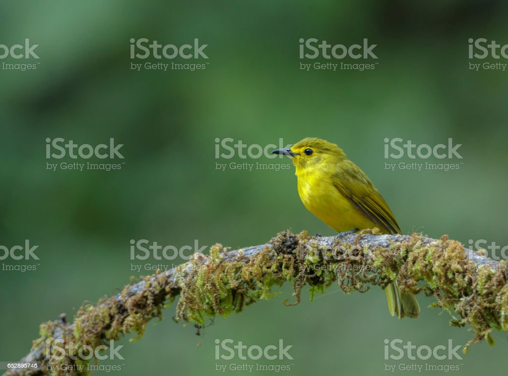 Yellow Browed Bulbul stock photo