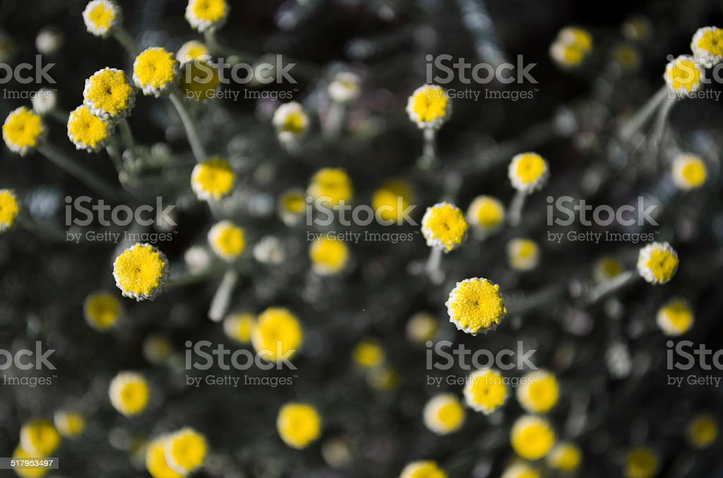 Yellow Buds on grey stems stock photo