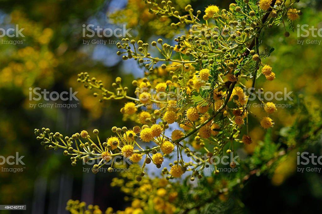 yellow buds stock photo