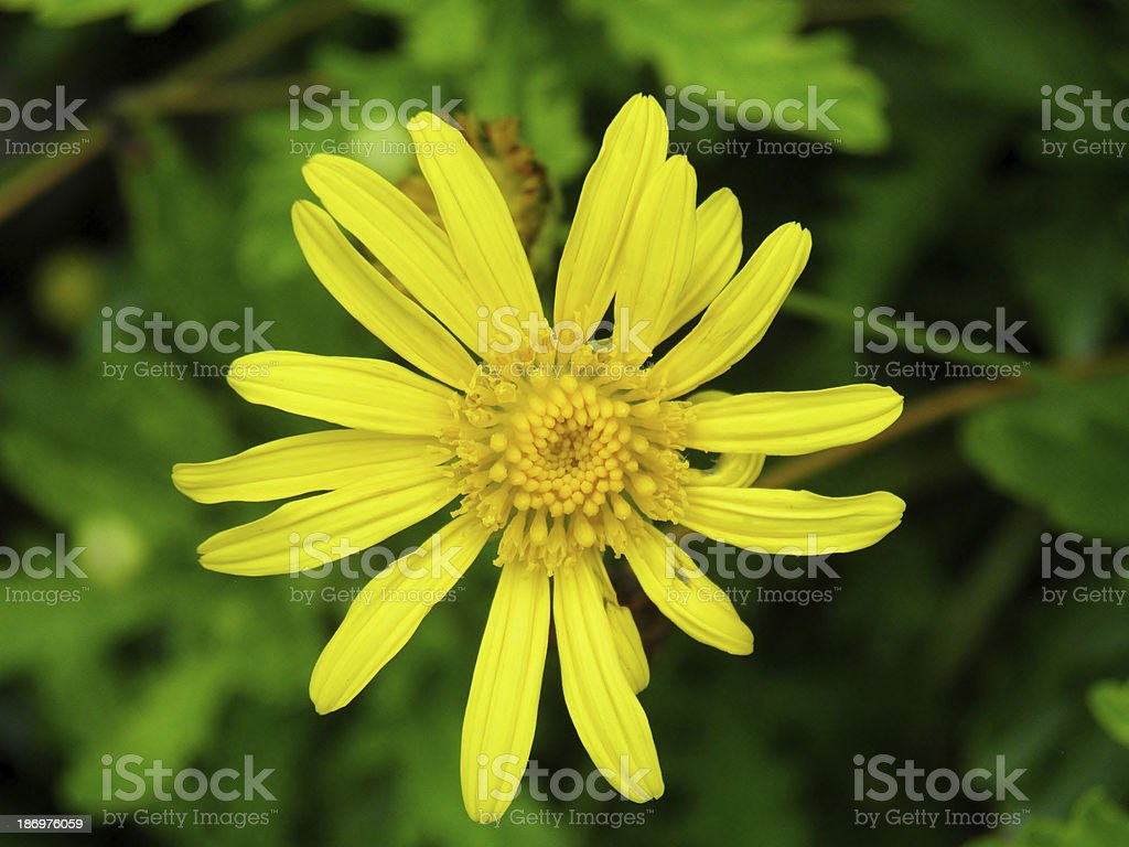 Yellow bush daisy flower royalty-free stock photo