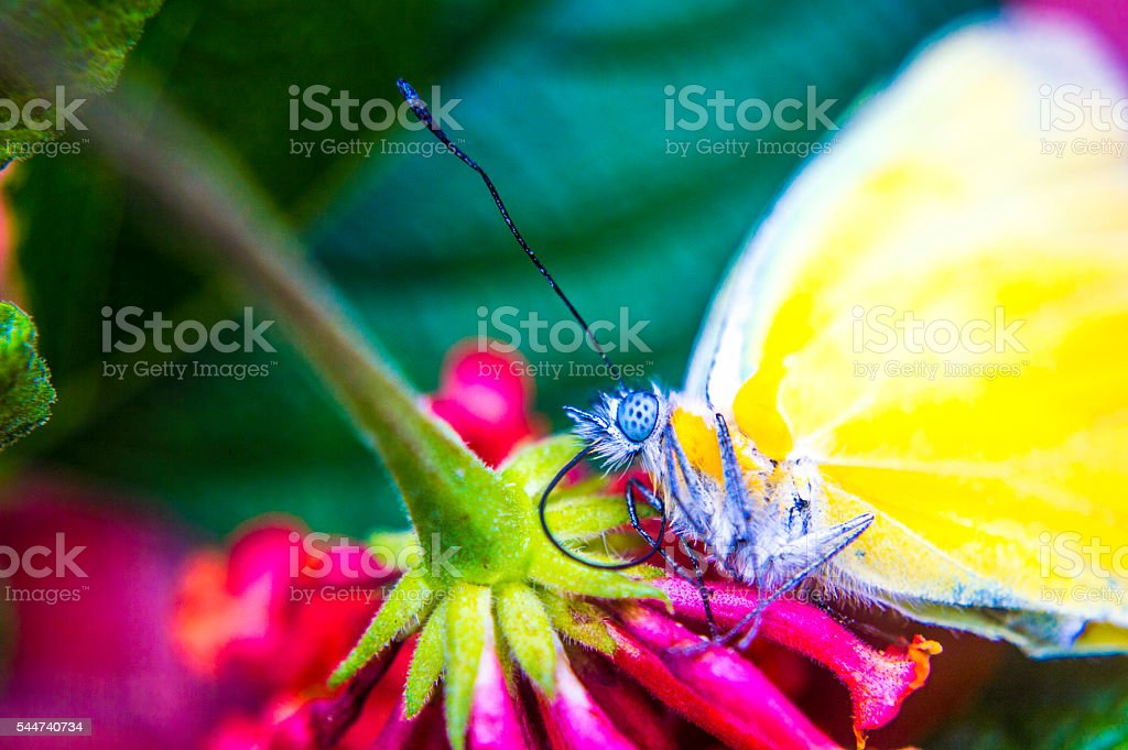 Yellow buterfly above the flower right side stock photo