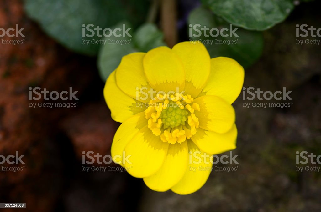 Yellow buttercup flower close up, macro.Ranunculus repens stock photo