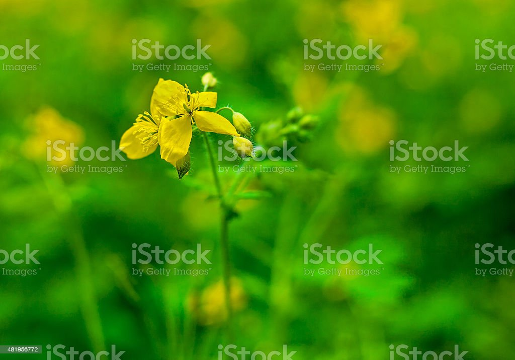 Yellow buttercup flower royalty-free stock photo