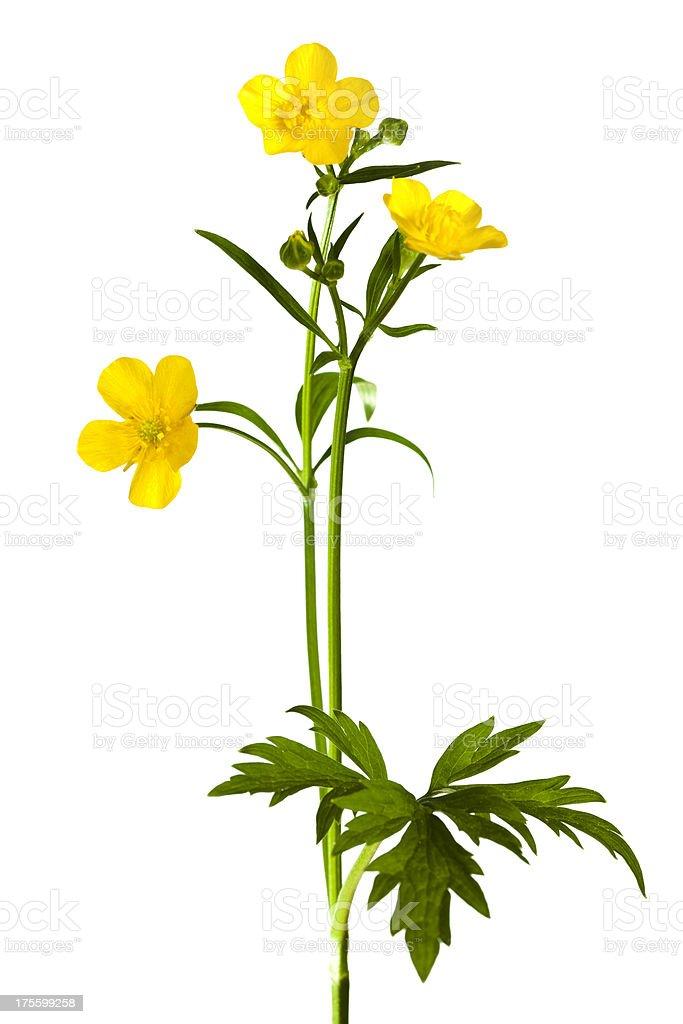 Yellow Buttercup. stock photo