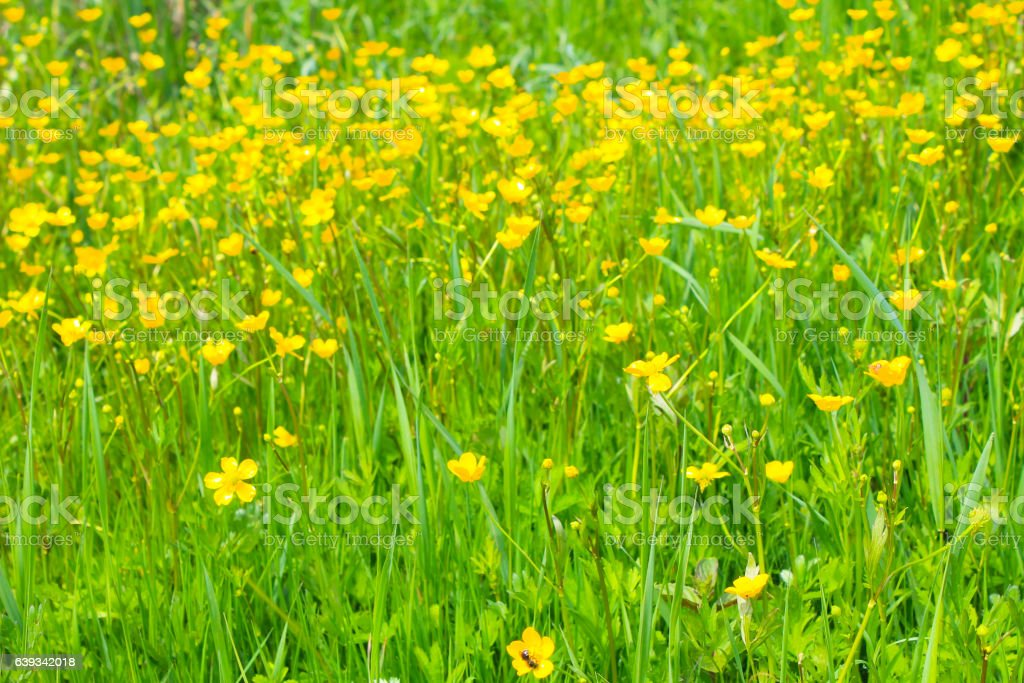 Yellow buttercups on meadow stock photo