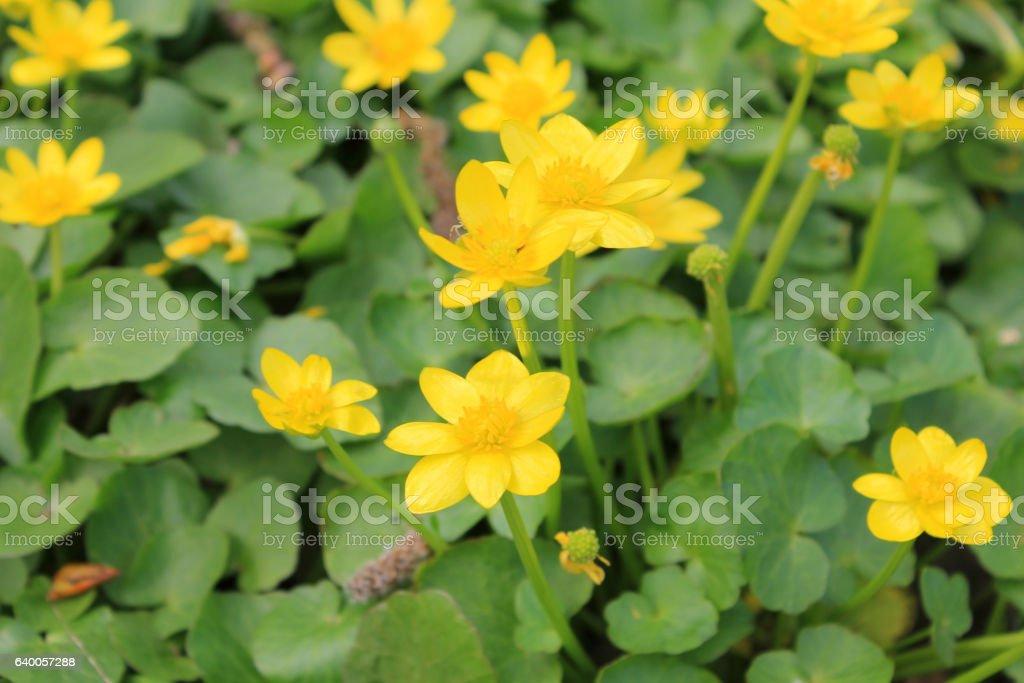 Yellow buttercups stock photo