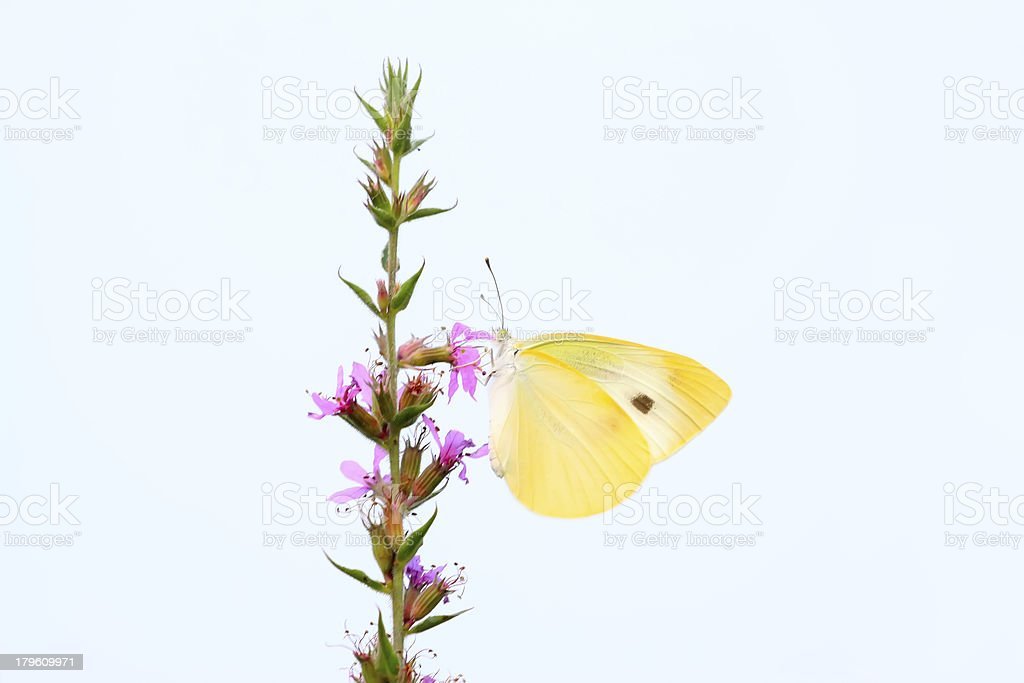 yellow butterflies royalty-free stock photo