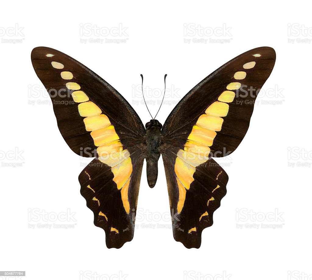 Yellow butterfly Hypolimnas monteironis isolated stock photo